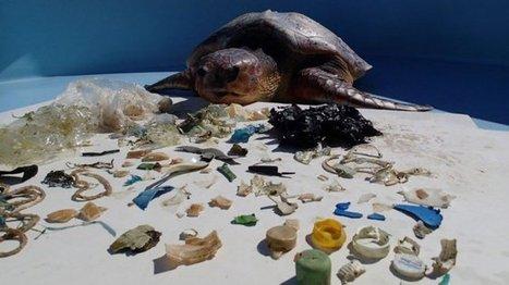 Les tortues marines en overdose de plastique - outre-mer 1ère | Biologie marine | Scoop.it