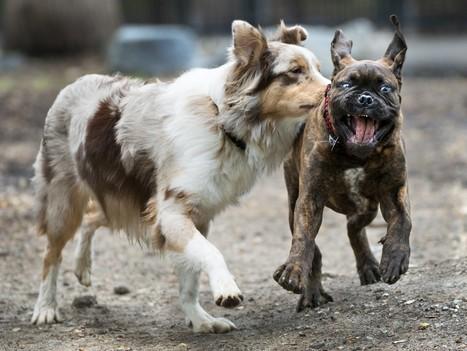 The hidden language of dog play - Washington Post | Molosser Dog World | Big Dogs, Real Talk . . . No Fluff. | Scoop.it