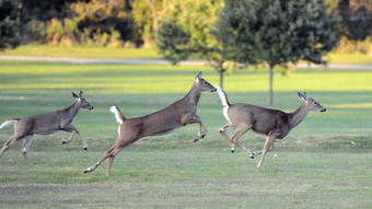 Deer behave erratically on roads in November   Allentown, PA Lawyers   Personal Injury   Family Law   Criminal Defense     Scoop.it