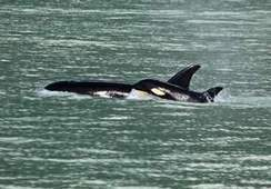 Orca-watching incident sparks concern - Squamish Chief | Exploring | Scoop.it