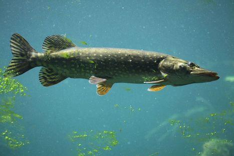 Pollution : les larves de poissons aiment — trop — le plastique | Toxique, soyons vigilant ! | Scoop.it