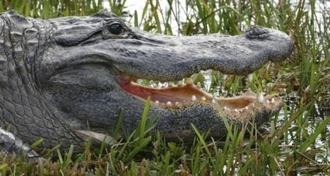 Pédagogie : comment enseigner à des étudiants-crocodiles ? | Numérique & pédagogie | Scoop.it