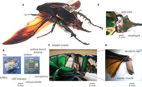 Next Big Future: Neural Dust - ultra small brain interfaces - is being used to make cyborg insects | Cyborg Lives | Scoop.it