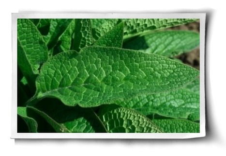 Comfrey: How to Use | Vintage Living Today For A Future Tormorrow | Scoop.it