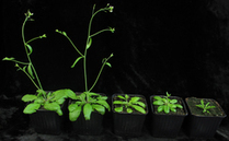 Research | Research news | MicroRNAs in plants: Regulation of the regulators in plants | plant cell genetics | Scoop.it