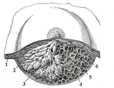 Une fontaine de jouvence trouvée dans des glandes mammaires de souris | myScience | Scoop.it