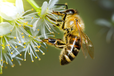The Latest Buzz: The Decline of Bees is Harming Global Agriculture | Pollinator conservation and diversity | Scoop.it