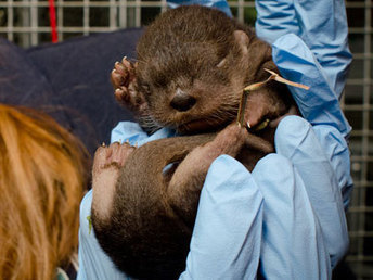 Meet the newest otter pup at the Oregon Zoo - KATU | Oregon Zoo Babies | Scoop.it