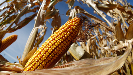 Corn-ered: America's native crop almost impossible to avoid at supermarket | MAIZE | Scoop.it