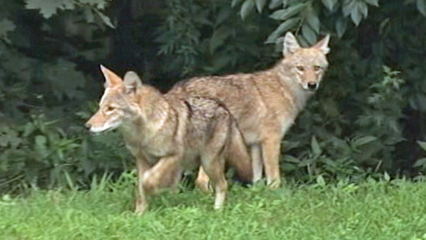 Quincy Police Warn Pet-Owners After Coyote Attacks - CBS Local   Pet Bereavement   Scoop.it