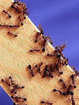 Solutions naturelles anti-fourmis | Confidences Canopéennes | Scoop.it