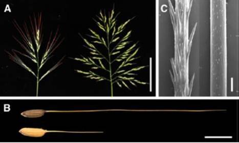 A domestication gene in rice that affects cytokinin synthesis and awn formation | Plant Biology Teaching Resources (Higher Education) | Scoop.it