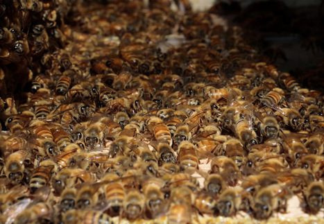 Project counts on you to count bees - Milwaukee Journal Sentinel | Vertical Farm - Food Factory | Scoop.it