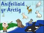 Anifeiliaid yr Arctig | Cynradd | Scoop.it