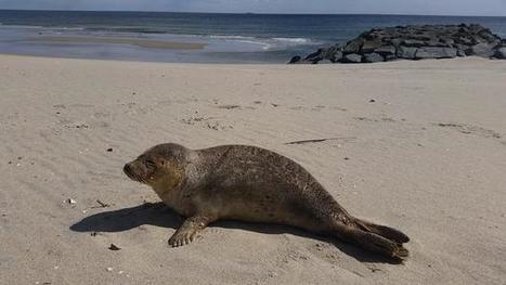 Dozens of Seals Turn Up on the Jersey Shore | All about water, the oceans, environmental issues | Scoop.it