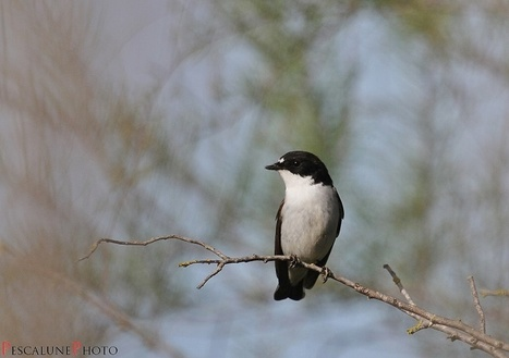 Gobe-mouche noir (Ficedula hypoleuca), European Pied Flycatcher | Fiches nature ClC | Scoop.it