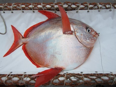Scientists have discovered the first fully warm-blooded fish | enjoy yourself | Scoop.it