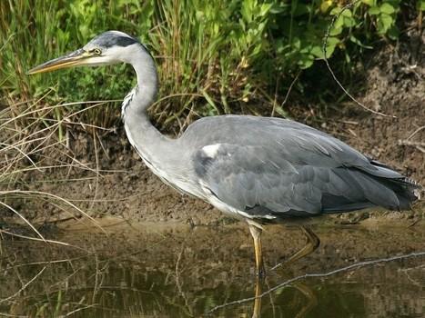 Photos d'oiseau échassier : Héron cendré - Ardea cinerea - European common heron | Fauna Free Pics - Public Domain - Photos gratuites d'animaux | Scoop.it
