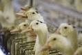 Un nouveau scandale alimentaire, au pays du foie gras ? - France Info | Innovation Foie gras de Canard | Scoop.it
