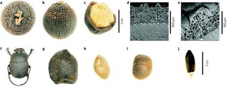 Une plante dupe les bousiers en faisant passer ses graines pour des crottes d'antilopes - GuruMeditation | EntomoNews | Scoop.it