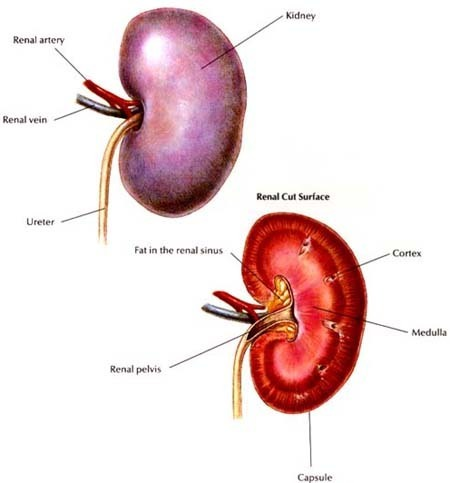 MEDICINE: Kidney gets transplanted twice in two weeks | The Doctors | Scoop.it