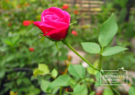 Cute Little Roses - Frustrated Photographer   Photography   Scoop.it