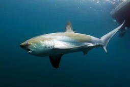 Ocean Animals: Pelagic Thresher Shark | Amocean OceanScoops | Scoop.it
