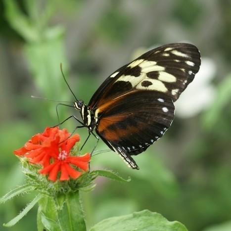 Photo de Papillon : Heliconius hecale - Tiger Longwing - Hecale Longwing - Golden Longwing - Golden Heliconian | Fauna Free Pics - Public Domain - Photos gratuites d'animaux | Scoop.it