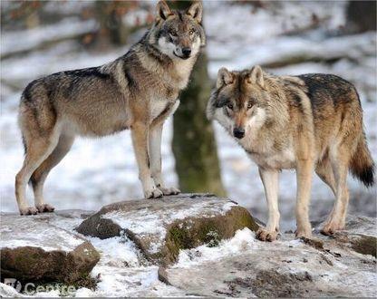 De quel retour du loup parle-t-on en Auvergne ? - La Montagne   chtichasse59   Scoop.it