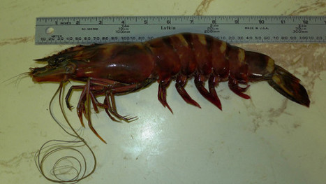 Giant cannibal shrimp don't scrimp on scariness | @FoodMeditations Time | Scoop.it