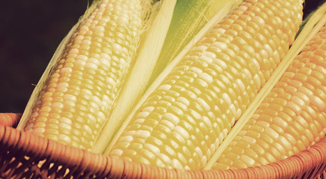 Analysis Finds Monsanto's GM Corn Nutritionally Dead, Highly Toxic | The World of Genetically Modified Foods | Scoop.it