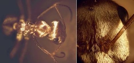 La fourrure argentée de la fourmi saharienne lui permet de résister à la chaleur du désert - GuruMeditation | EntomoNews | Scoop.it
