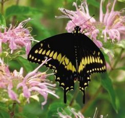 Go native and save the swallowtail butterfly | SeacoastOnline.com | VCE Biology | Scoop.it