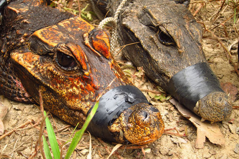 Weird orange crocodiles found gorging on bats in Gabon's caves | De Natura Rerum | Scoop.it