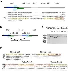 PLOS ONE: Targeting Human MicroRNA Genes Using Engineered Tal-Effector Nucleases (TALENs) | Genetic Engineering of CRISPR | Scoop.it