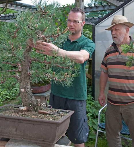 Walter Pall Bonsai Adventures: Rene edits European black pine | Bonsai | Scoop.it