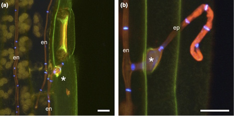 New Phytologist: The endophytic symbiont Epichloë festucae establishes an epiphyllous net on the surface of Lolium perenne leaves by development of an expressorium (2016) | Plants and Microbes | Scoop.it