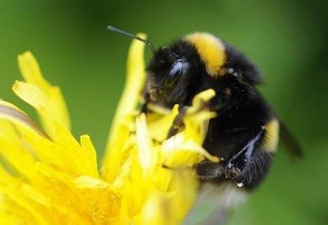Environmentalists sue to list bumble bee as endangered | Reuters | Pollinator conservation and diversity | Scoop.it