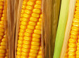 USDA Predicts Enormous Corn Harvest This Summer | Maize | Scoop.it
