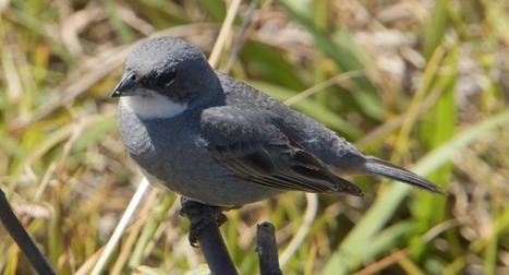 Collapse of Avian Biodiversity in the Pacific - MAHB | GarryRogers NatCon News | Scoop.it
