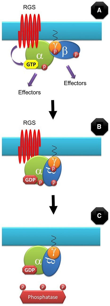 Plant G-Proteins Come of Age: Breaking the Bond with Animal Models | SciFrye | Scoop.it