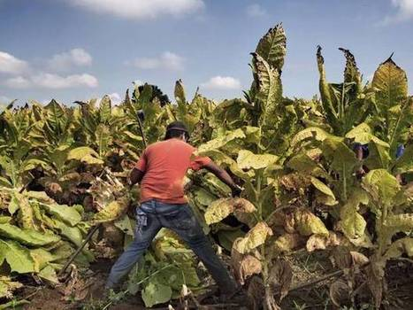 US Tobacco Child Labour: Children Working On Farms 'Endangered' By Exposure To Nicotine | Permaculture, Horticulture, Homesteading, Bio-Remediation, & Green Tech | Scoop.it