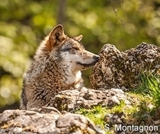 Écologie punitive : Royal : tuez un max de loups avant la trêve ! | Chronique d'un pays où il ne se passe rien... ou presque ! | Scoop.it