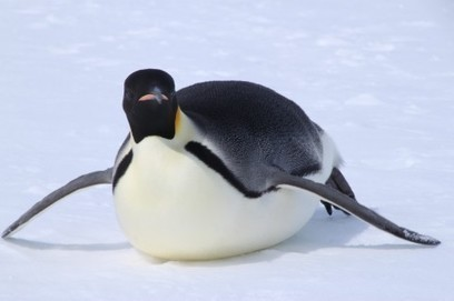Only three lucky groups of emperor penguins survived the last ice age - Washington Post | Antarctica | Scoop.it