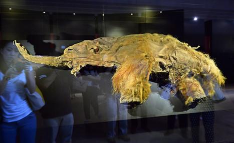 Le mammouth bientôt ressuscité grâce à son ADN? | Remembering tomorrow | Scoop.it
