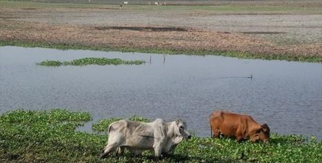 Colombia: Por sequía, 40% baja producción de leche | Producción Lechera | Scoop.it