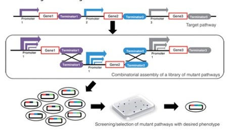 Customized optimization of metabolic pathways by combinatorial transcriptional engineering | SynBioFromLeukipposInstitute | Scoop.it
