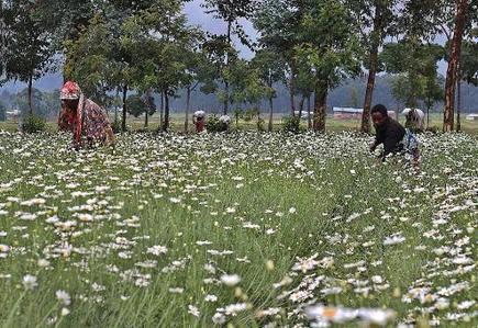 Le Rwanda mise sur le pyrèthre, insecticide naturel | EntomoNews | Scoop.it