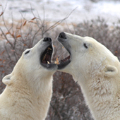 Living on Earth: Starving Polar Bears | Climate change challenges | Scoop.it