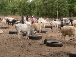 Gambia Battles Worst Contagious Cattle Disease | Food issues | Scoop.it
